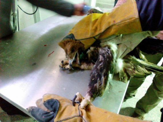 رادیوگرافی پرندگان اسیب دیده اداره کل حفاظت محیط زیست همدان