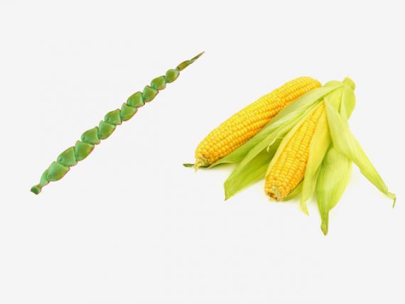 شکل میوهها و سبزیجات طی چند صد سال گذشته چگونه بود؟