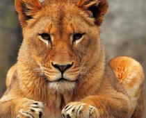 شادی عجیب دو شیر جوان از ملاقات با مربی زن