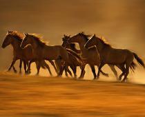 آزاد کرد اسب های وحشی به طبیعت