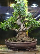 نکاتی که باید در مورد درختان بن سای بدانید