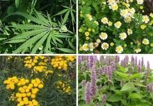 تویسرکان؛ گنجینه خدادادی با بیش از 1200 نوع گیاه دارویی/ معجزه غذاهای دارویی با گیاهان بهاری