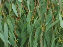 ین گیاه رشد سلول های سرطانی را متوقف می کند